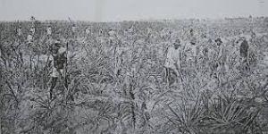 cane fields2